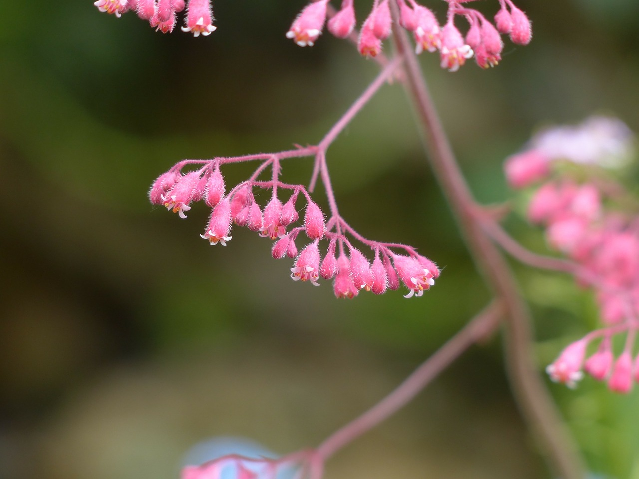 Coral Bells (Heuchera) Grow and Care Guide