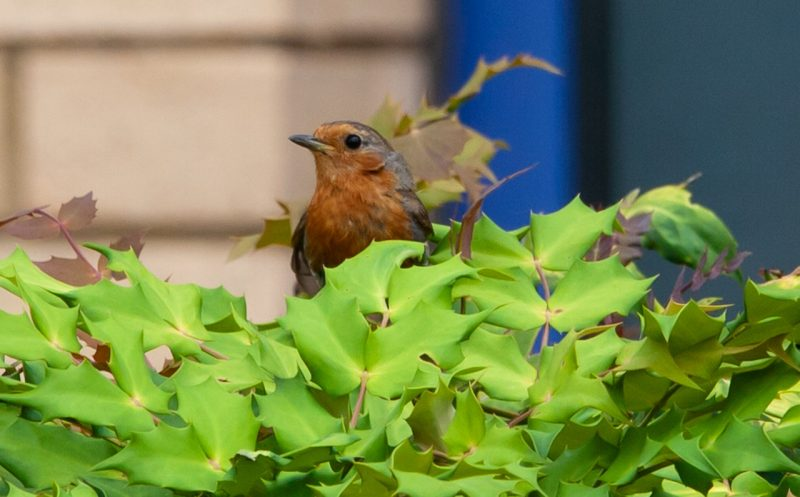Holly plants for birds