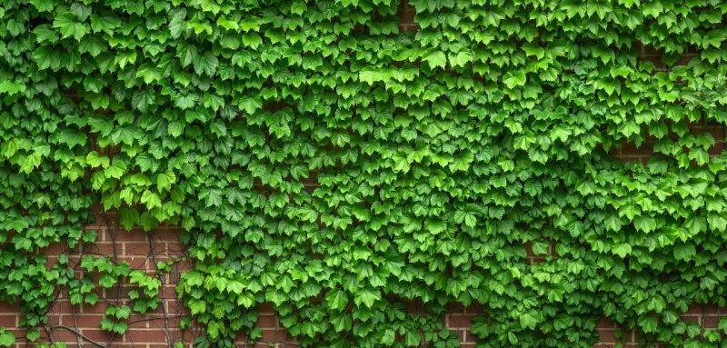 Ivy plants for birds