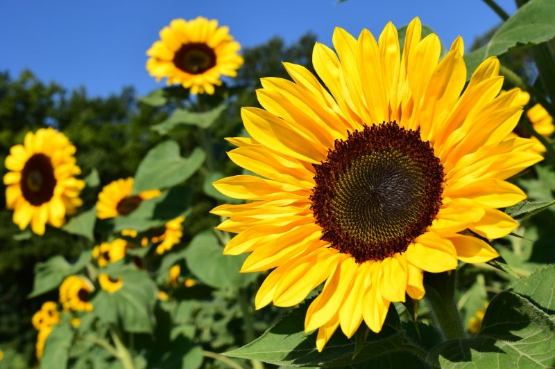 Sunflowers are ideal plants for birds